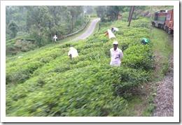 鉄道沿いに広がるお茶のプランテーション