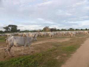放牧牛と出っくわすことも