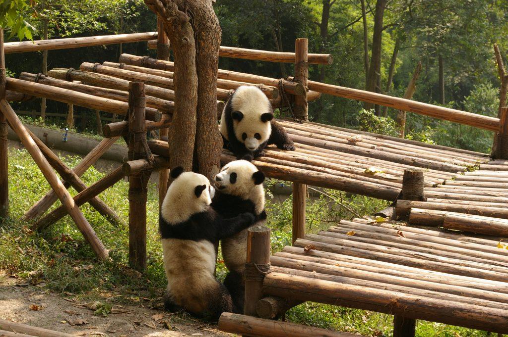 中国成都パンダ繁育研究基地のパンダ